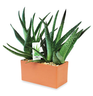 Indispensable Aloe Plant Kit